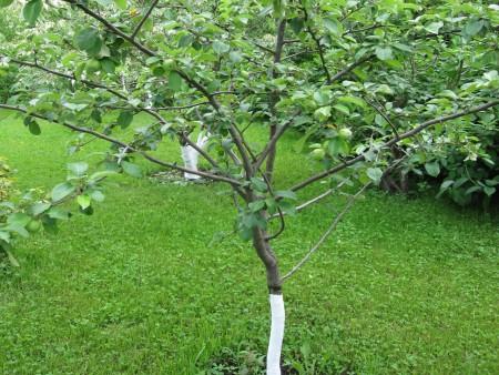 Обработка яблони по Лунному календарю.