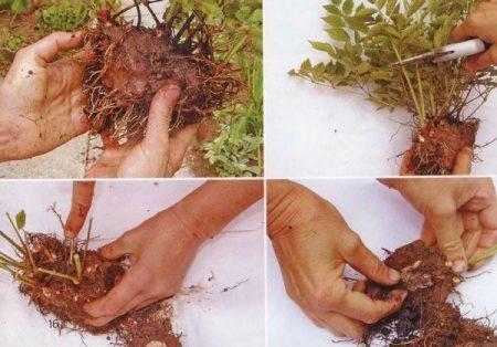 Размножение растения делением куста.
