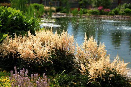 Посадка астильбы весной в грунт и уход за цветами в саду