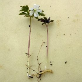 Размножение анемоны корневыми отпрысками