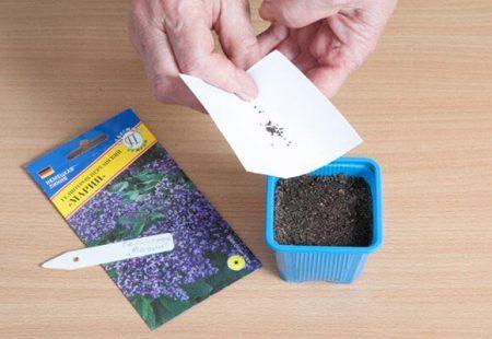 посев семян гелиотропа.