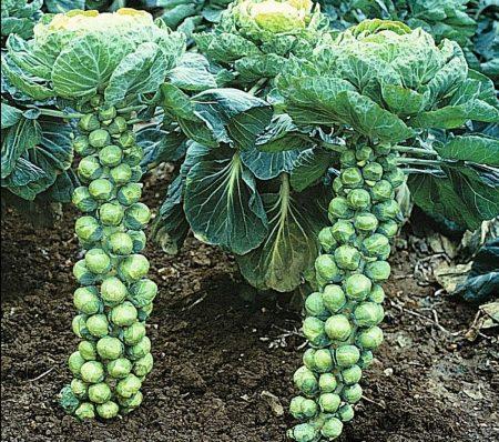 Уборка брюссельской капусты