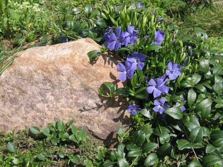 Посадка, выращивание и размножение барвинка