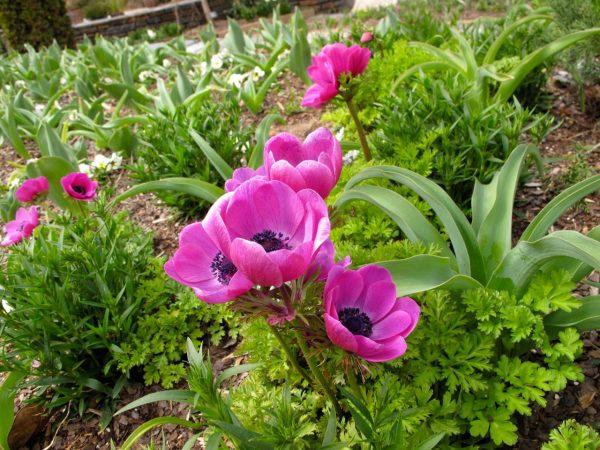 На фото цветы анемоны