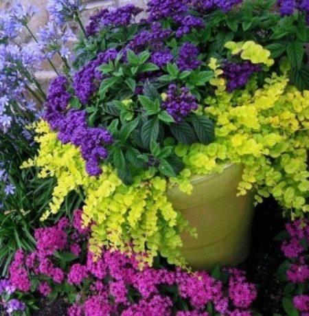 Гелиотроп в сочетании с другими цветами.