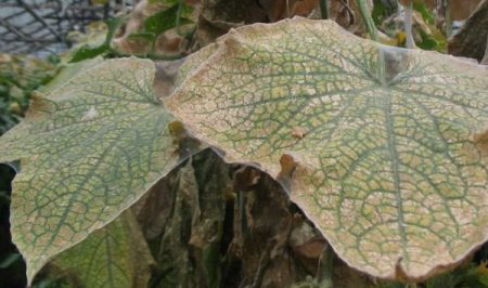 Листья пораженные клещем.