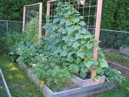 Выращивание огурцов на сетке.