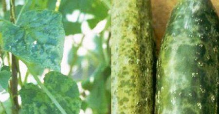 Зеленая крапчатая мозаика огурца