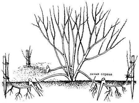 Размножение отводками.