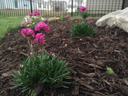 Высадка цветов в грунт.