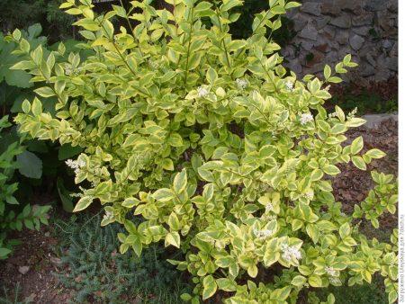 Ligustrum ovalifolium Aureu