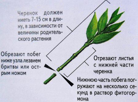 Размножение черенкованием.