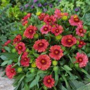 Малиновая расцветка