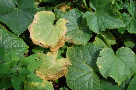 При нехватке калия на краешках листьев появляется сухая каемка.