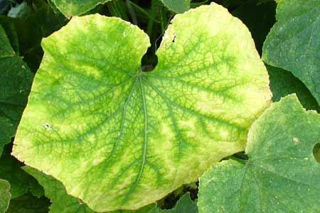 Недостаток азота приводит к пожелтению и засыханию листьев.