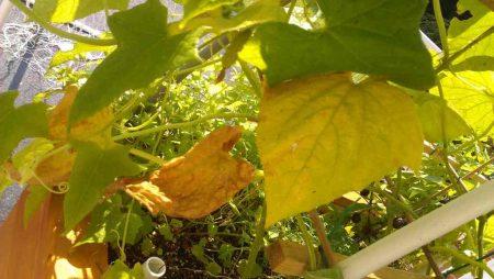 Почему желтеют листья огурцов.