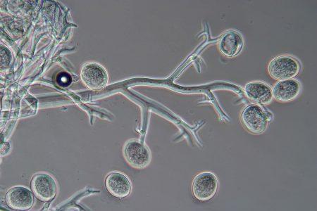 Патогенный гриб пероноспора.