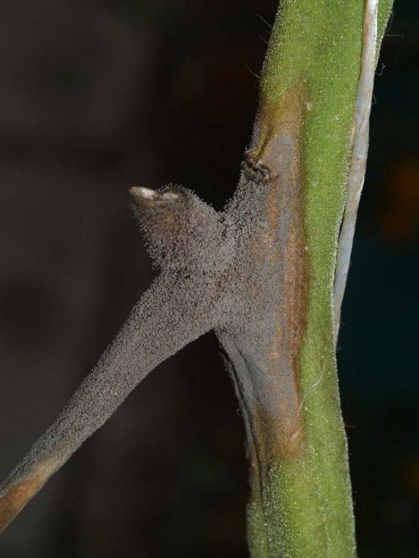 Серая гниль: фото больных растений.