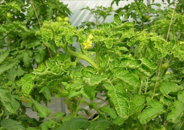 Желтая курчавость одна из болезней томатов.