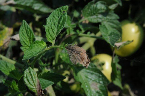 Фитофтороз на листьях томатов