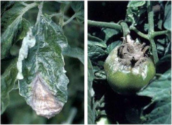 Болезни томатов: серая гниль на листьях.