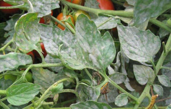 На фото мучнистая роса на листьях помидор.