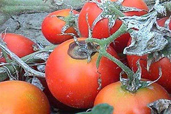 Фомоз на томатах.