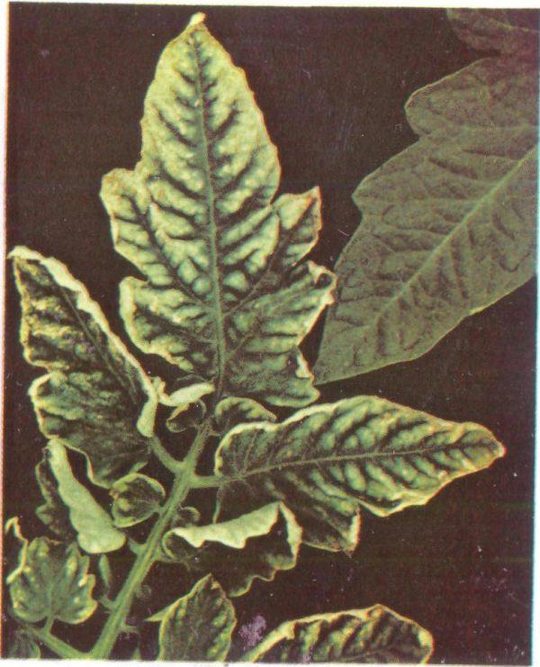 Листья скручиваются из-за недостатка калия.
