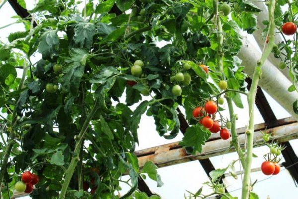 Индетерминантные томаты фото