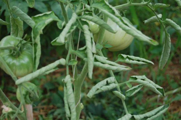 Скрученные листья помидор.