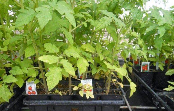 Если листья бледные, значит не хватает азота.