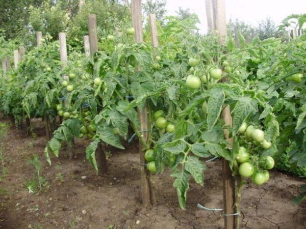 Низеорослые помидоры пасынкования не требуют.