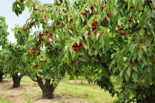 Высокие деревья черешни.