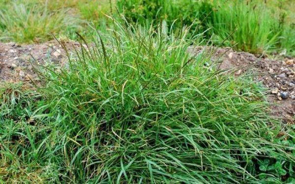 Трава пырей: фото и как бороться с пыреем на участке