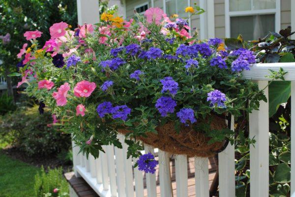 Лучшие сорта вербены и фото цветов в саду