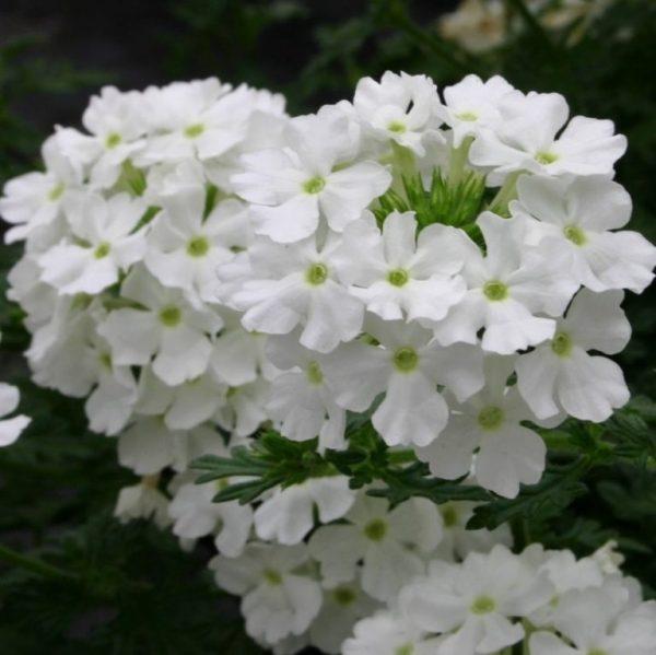 На фото Quartz Белая