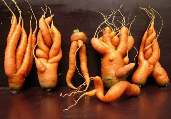Почему морковь растет рогатой, корявой и вялой