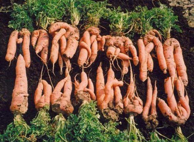 Выросла рогатая морковка.