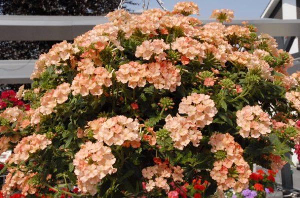 Цветы кремового цвета