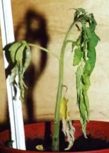 Болезнь на рассаде томатов