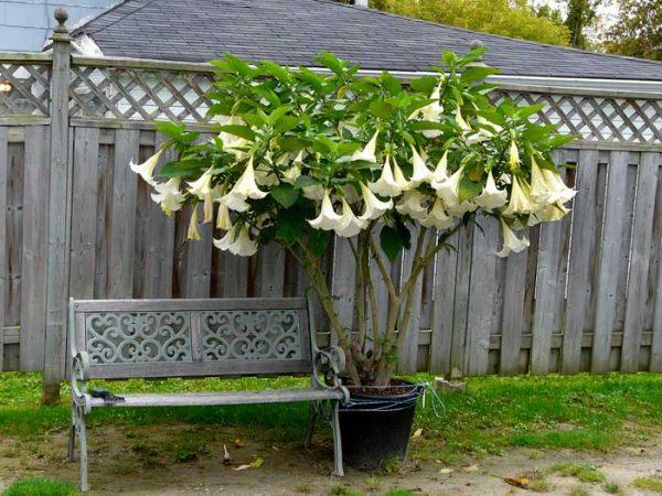 Как вырастить бругмансию из семян