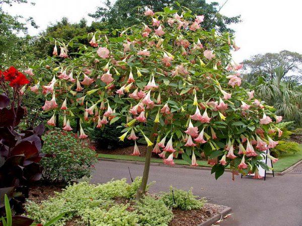 Фото цветущей бругмансии