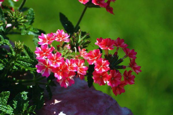Вербена: фото цветов, описание, посадка и выращивание