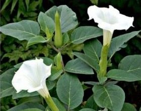растение дурман