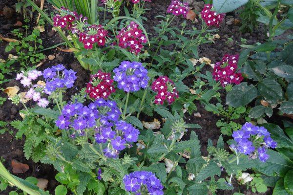 Посадка рассады цветов в открытый грунт