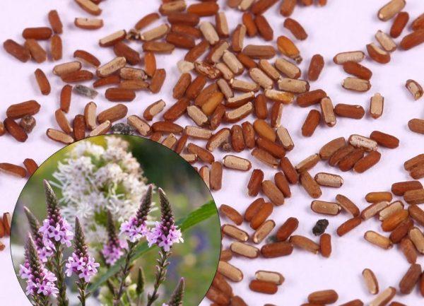 На фото семена вербены