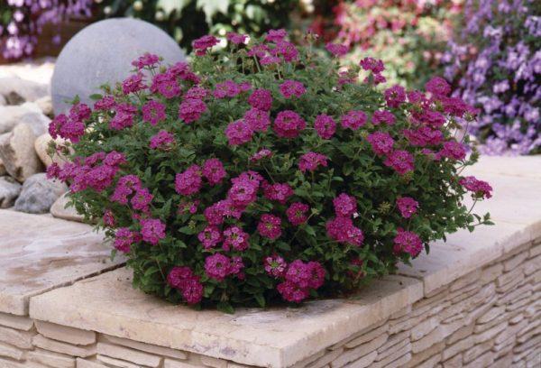 Пышный куст красивых цветов