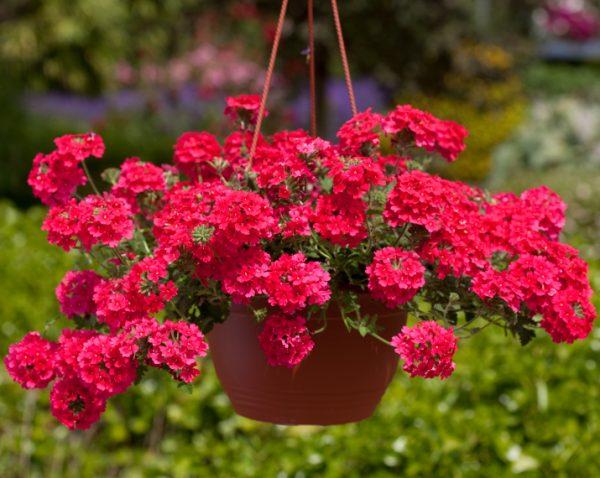 Кашпо с красными цветами