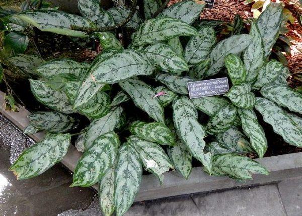 Marantifolium