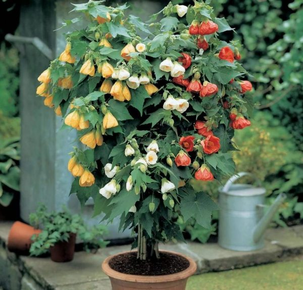 Цветок канатник в саду.